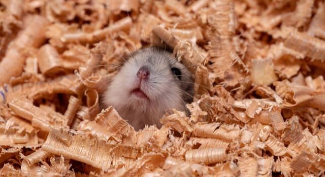 Hamsternase schaut aus einem Haufen Einstreu