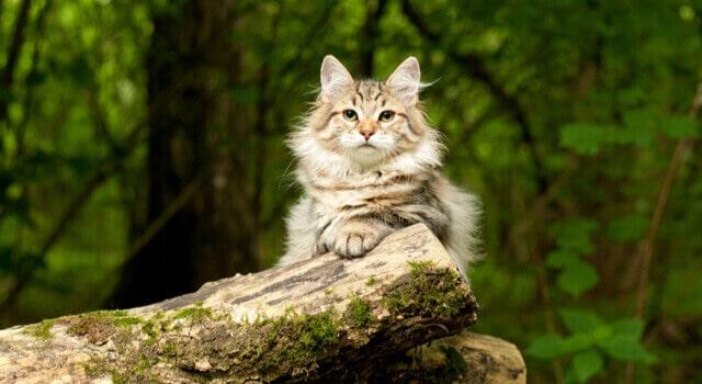 Sibirische Katze sitzt im Wald auf einem Baumstamm