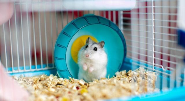Hamsterkrankheiten